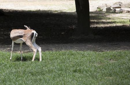 bovidae: Gazelle grooming