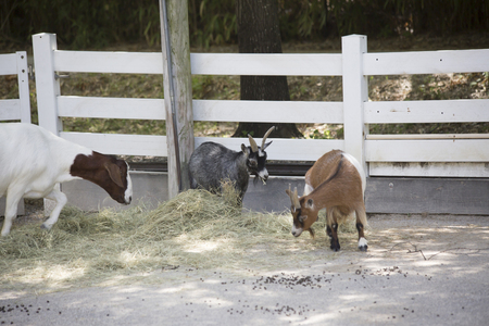 Goats grazing on hay