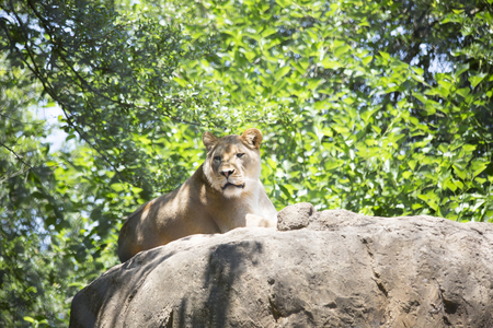 Lioness resting on a rock Stock Photo