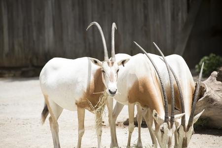 Members of a scimitar oryx (Oryx dammah) herd grazing on hay