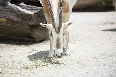 Scimitar oryx (Oryx dammah) grazing on hay