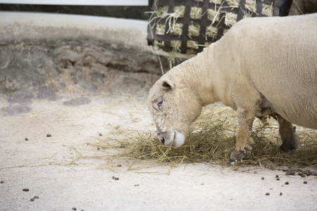 Farm sheep grazing on hay