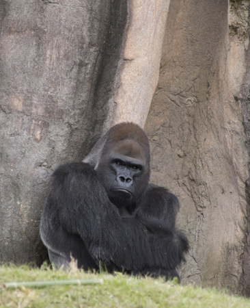 intimidating: Western lowland gorilla staring stubbornly into the distance Stock Photo