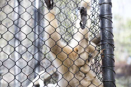 biped: Lar gibbon, also known as a white-handed gibbon, hanging on cage fence Stock Photo