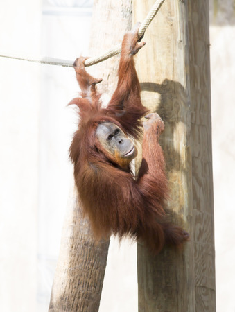simian: Orangutan hanging from a rope