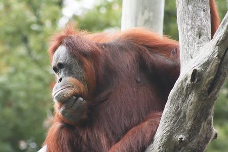 Orangutan staring into space Stock Photo
