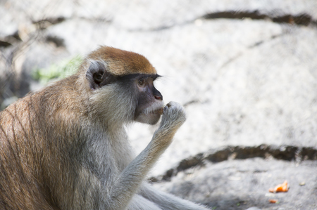 Patas monkey, also called a military monkey and  the red guenon, eating