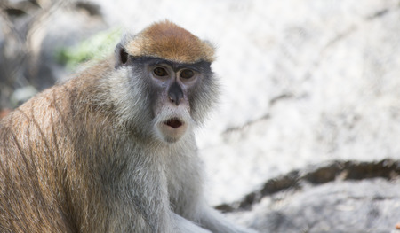 Patas monkey, also called a military monkey and  the red guenon, howling