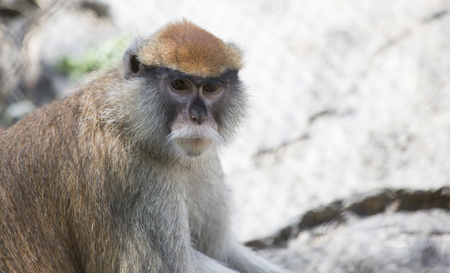 herbivores: Patas monkey, also called a military monkey and  the red guenon, looking around thoughtfully