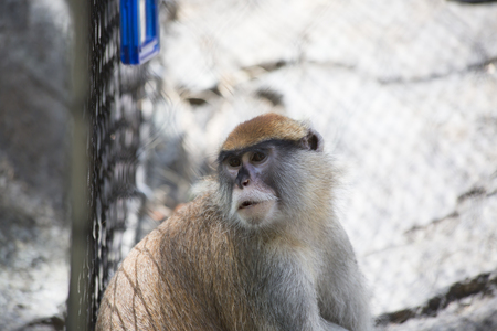 Patas monkey, also called a military monkey and  the red guenon, looking around thoughtfully