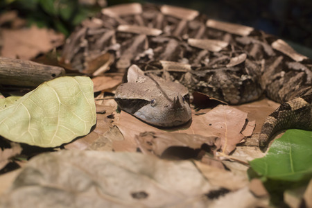 Close up of a Gaboon viper (Bitis gabonica) camouflaged in leaves