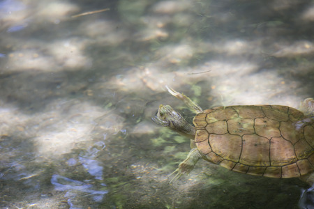 River cooter turtle  (Pseudemys concinna) in a pond