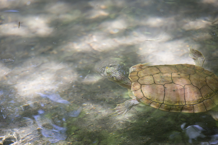 freshwater: River cooter turtle  (Pseudemys concinna) in a pond