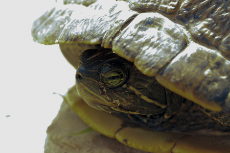 Red-eared pond slider (Trachemys scripta elegans) poking its nose above water Stock Photo