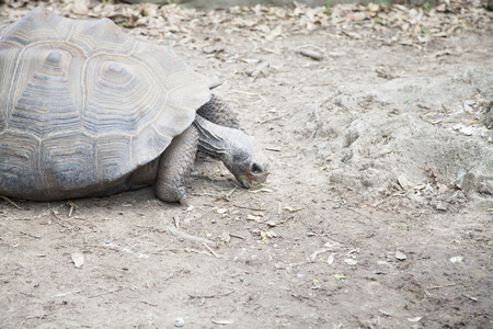Tortoise in the distance sifting through dust for food Stock Photo