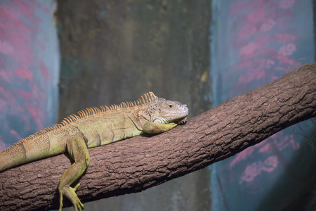 Green iguana resting on a limb in a display Stock Photo