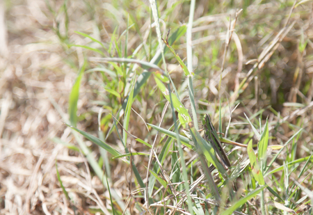 Spur-throated grasshopper on a blade of grass