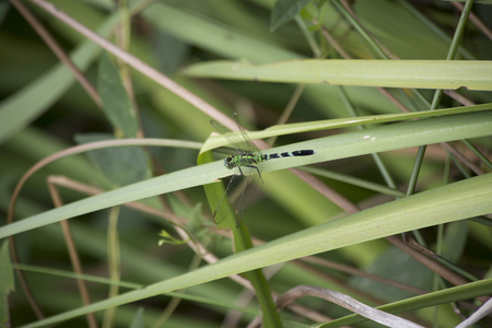 Close up of an Eastern pondhawk dragonfly perched on a blade of grass