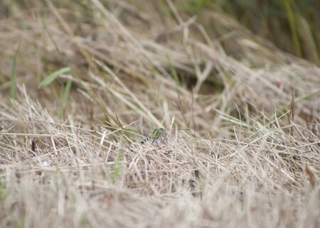 pondhawk: Eastern pondhawk dragonfly perched in dead, dry grass