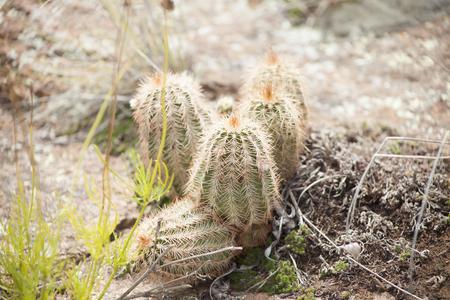 oklahoma: Batch of short cacti growing naturally in Southern Oklahoma Stock Photo