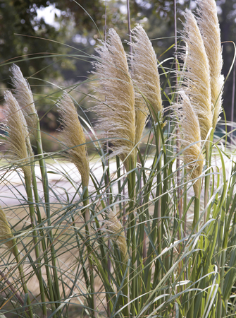 Close up of a tall patch of reed grass