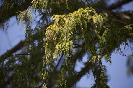 Close-up van cipres boom (Taxodium distichum) naalden en ballen