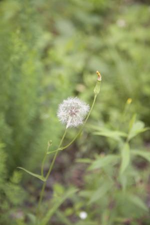 Close up of a dandelion clock in a field