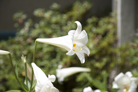 Close up of a white Easter lily (Lilium longiflorum) Imagens