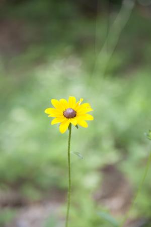Close up of a wild black-eyed Susan sunflower Stock Photo