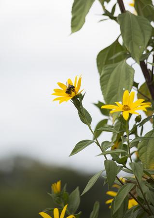 Carepenter bee perched on sunflowers Фото со стока