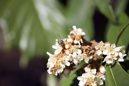 Honey bee pollinating white blooms on a bush