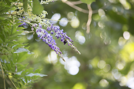 Close up of a carpenter bee hovering around a purple bloom