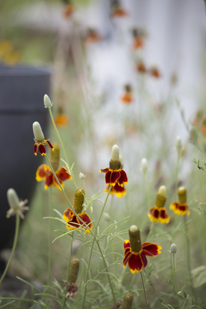 cures: Large patch of coneflowers growing in a flowerbed Stock Photo