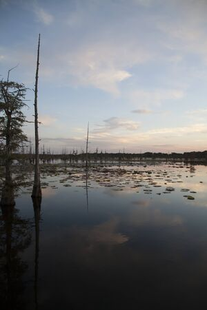 bayou swamp: Landscape of swamp trees and water at dusk