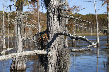 Close up of trees within a swamp during the fall Stock Photo