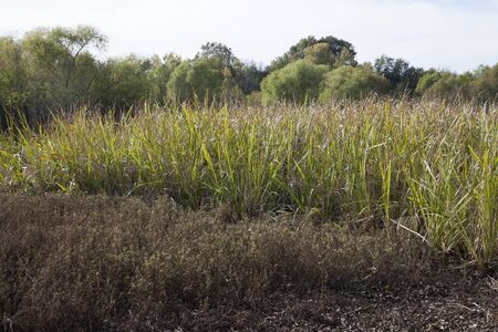 Grass growing at the edge of the swamp