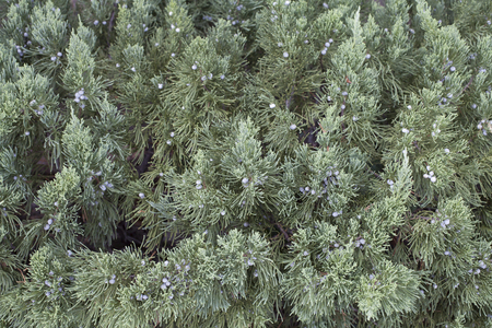 Close up of an Eastern red cedar tree