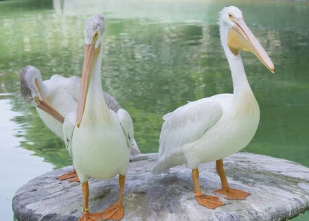 Three American white pelicans on a platform near water