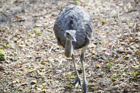 A single rhea bird in a natural habitat