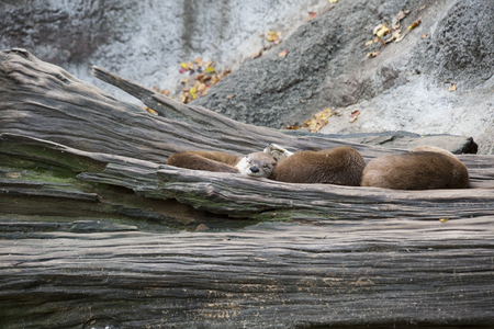 Otters safely resting together on a tree trunk