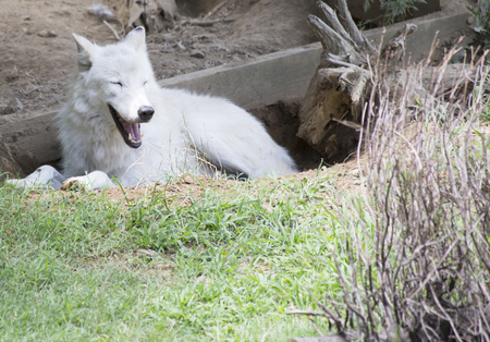 artful: Timber wolf cooling off and resting in a hole Stock Photo