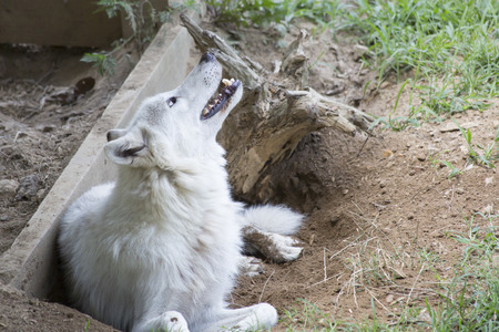 wildanimal: Timber wolf cooling off and resting in a hole Stock Photo