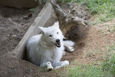 Timber wolf cooling off and resting in a hole Stock Photo