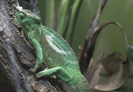 Close up of a Jacksons chameleon resting on a branch