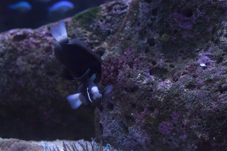 Close up of a pair of McCullochi clownfish swimming playfully