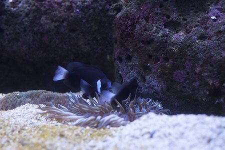 fish tank: Close up of a pair of McCullochi clownfish swimming playfully