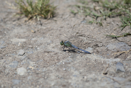 pondhawk: Immature male pondhawk dragonfly perched on the ground