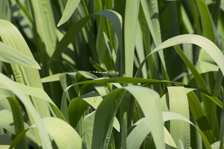 pondhawk: Eastern pondhawk dragonfly resting on a blade of grass Stock Photo