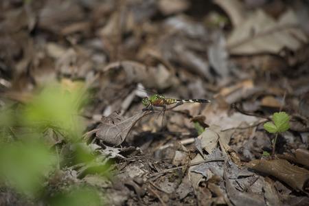 pondhawk: Eastern pondhawk dragonfly perched on a leaf