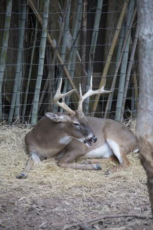 White tailed deer buck (Odocoileus virginianus) resting peacefully